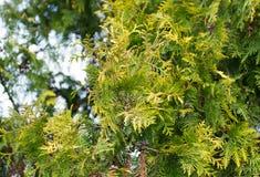 Зеленая ветвь arborvitae на природе Стоковые Фото