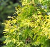Зеленая ветвь arborvitae на природе Стоковая Фотография
