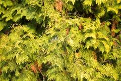Зеленая ветвь arborvitae на природе Стоковые Фотографии RF