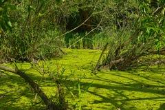 Зеленая вода, болото, ветви дерева Стоковые Фотографии RF