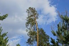 Зеленая высокая сосна против неба и облаков Стоковые Фотографии RF