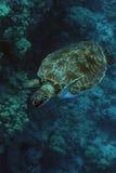 зеленая гаваиская черепаха моря Стоковые Фотографии RF