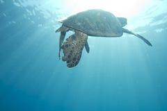 зеленая гаваиская черепаха моря Стоковое фото RF