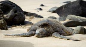 зеленая гаваиская черепаха моря Стоковая Фотография RF