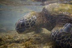 зеленая гаваиская черепаха моря Стоковые Фото