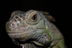 Зеленая голова игуаны наблюдает стоковые фото