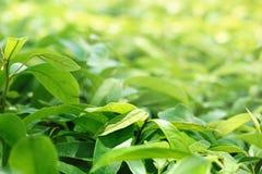 Зеленая группа в составе листьев заводы имеет солнечный свет Стоковые Изображения