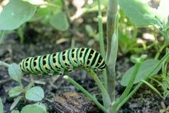 Зеленая гусеница на траве стоковые изображения rf