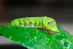 Зеленая гусеница Стоковое Изображение RF