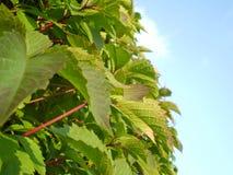 зеленая густолиственная вегетация неба Стоковая Фотография RF