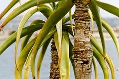 Зеленая деталь vera алоэ стоковые изображения rf
