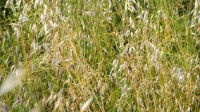 Зеленая дикая трава в качании поля или луга на светлом ветре Предпосылка природы, выборочный фокус сток-видео