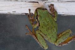 Зеленая древесная лягушка косые 02 Стоковые Изображения RF