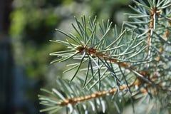 Зеленая елевая ветвь на темной предпосылке стоковая фотография rf
