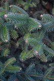 Зеленая елевая предпосылка вертикали ветви дерева Стоковые Фотографии RF
