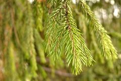 Зеленая елевая предпосылка Зеленая текстура srpuce Стоковые Фотографии RF