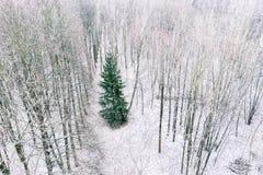 Зеленая ель среди обнаженного дерева бука в фотографии трутня леса зимы стоковое изображение
