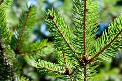 Зеленая ель Стоковое Фото