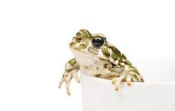 зеленая жаба Стоковая Фотография RF