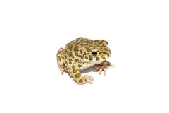 Зеленая жаба стоковые фотографии rf