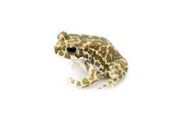 Зеленая жаба (viridis Bufo) изолированная на белой предпосылке Стоковая Фотография RF
