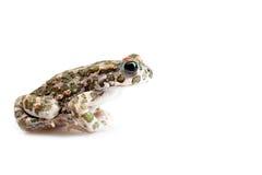 Зеленая жаба (viridis Bufo) изолированная на белой предпосылке Стоковые Изображения