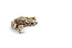Зеленая жаба (viridis Bufo) изолированная на белой предпосылке Стоковые Фотографии RF