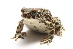 зеленая жаба (viridis Bufo) над белизной Стоковое Изображение RF