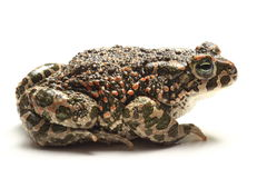зеленая жаба (viridis Bufo) над белизной Стоковая Фотография