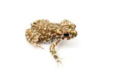 Зеленая жаба (viridis Bufo) на белой предпосылке Стоковое Изображение