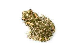 Зеленая жаба (viridis Bufo) на белой предпосылке Стоковые Фотографии RF