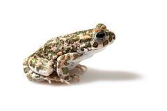 Зеленая жаба (viridis Bufo) на белой предпосылке Стоковая Фотография