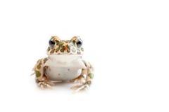 Зеленая жаба (viridis Bufo) на белой предпосылке Стоковая Фотография RF
