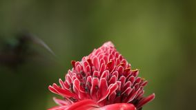 Зеленая затворница, парень Phaethornis, завиша рядом с красным цветком в саде, птица от caribean тропического леса, Тринидад и То сток-видео