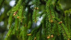 Зеленая зима конусов дерева ветви Стоковое Изображение RF