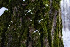 зеленая зима снега леса конца-вверх ствола дерева мха Стоковые Фотографии RF