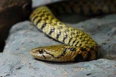 Зеленая змейка вала Стоковые Фото