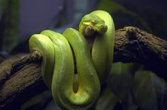 Зеленая змейка в ветви дерева стоковые фотографии rf