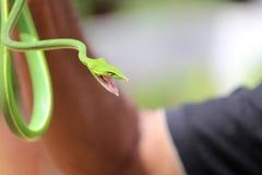 Зеленая змейка захваченная совершенно стоковое фото rf