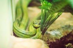 Зеленая змейка кота (cyanea Boiga) в ферме змейки и общем имени Стоковые Фото