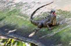 Зеленая игуана, большая травоядная ящерица стоковые фотографии rf