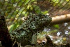 Зеленая игуана в зоопарке, это самая большая ящерица в Южной Америке стоковое изображение