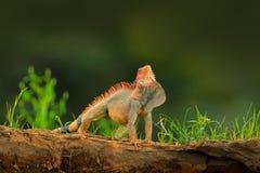 Зеленая игуана, игуана игуаны, портрет оранжевой и зеленой большой ящерицы в темном ом-зелен животном леса в реке h природы тропо Стоковая Фотография RF