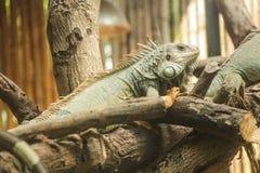 Зеленая игуана игуаны игуаны, также известная как американская игуана, большая, arboreal, ящерица Найденный в плене как любимец д стоковые фотографии rf