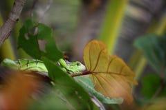 Зеленая игуана на дереве Стоковое фото RF