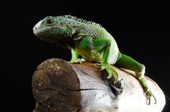 Зеленая игуана представляет на ломте древесины Стоковые Изображения RF