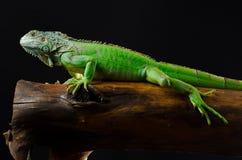 Зеленая игуана представляет на ломте древесины Стоковое фото RF