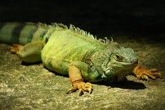 зеленая игуана Стоковые Изображения RF