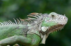 зеленая игуана Стоковое Изображение RF