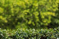 Зеленая изгородь и запачканная предпосылка Стоковое Изображение RF